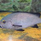 ナスDが絶賛する魚アジアコショウダイとは?その入手方法・通販あるの?料理方法は?